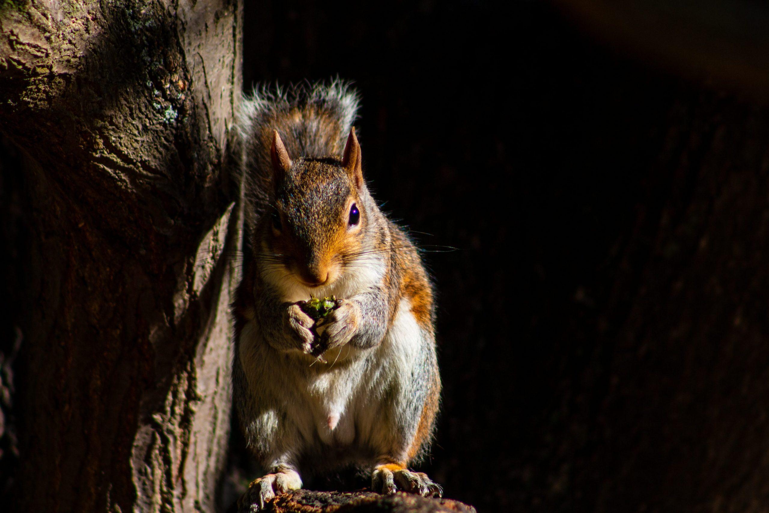 Écureuil roux à Londres