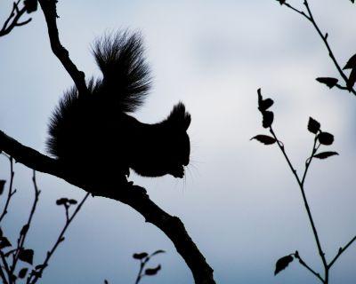 ecureuil_roux